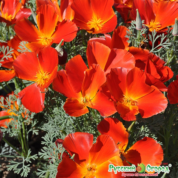 Показать цветок алиссум 16