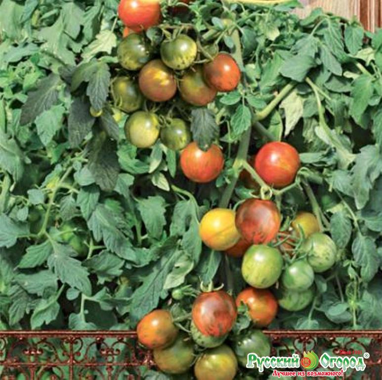 Ампельные помидоры рамблинг голдфото