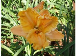 Hemerocallis Ledgewood's Carved in Gold