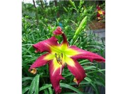 Hemerocallis Ledgewood's Frequent Flyer