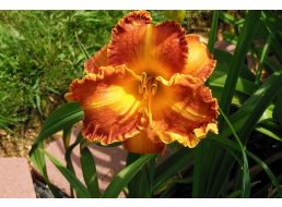 Hemerocallis Copperhead Road