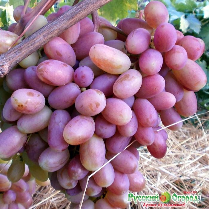 виноград оригинал описание сорта фото отзывы видео