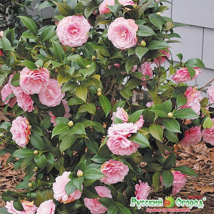 Горшечные цветы камелия купить смоленск купить цветы в офис с доставкой