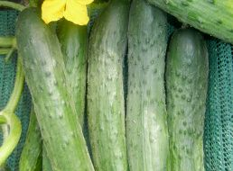 <b>Семена Морковь Витаминная 6</b>: описание сорта, фото. Купить с ...