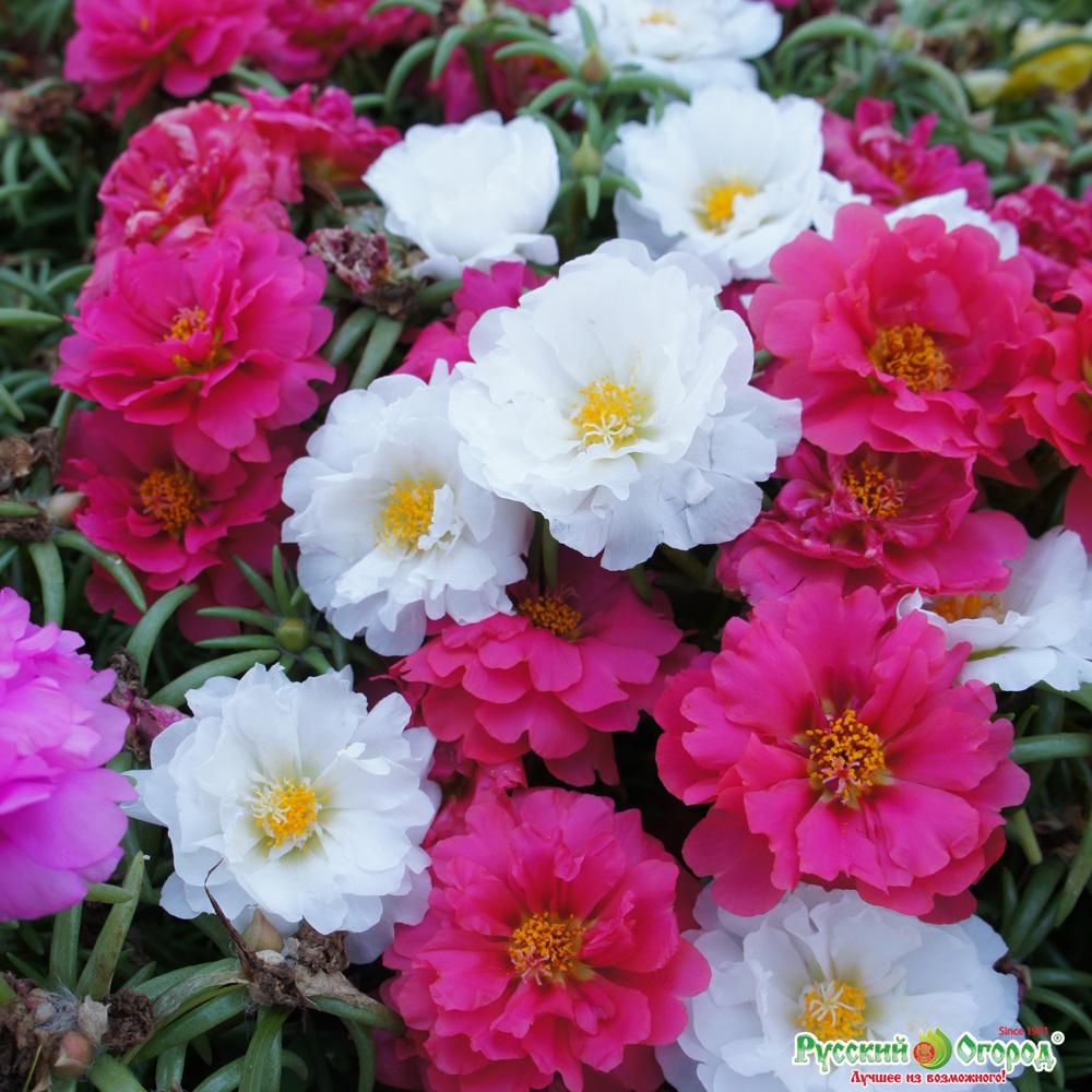 популярные садовые цветы фото с названиями суп макаронами, кукурузой