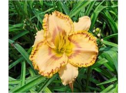 Hemerocallis Irresistible Rainbow