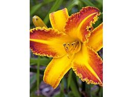 Hemerocallis Bo Diddley