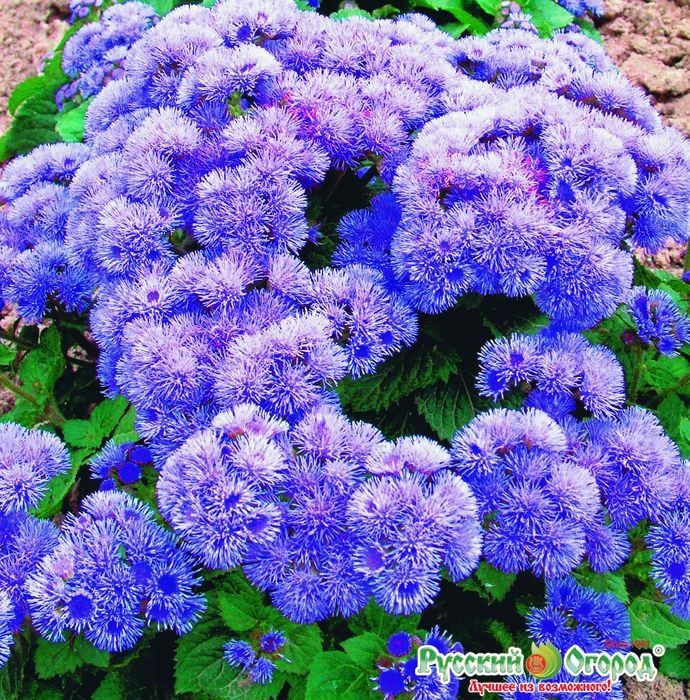 Голубая муфточка цветок