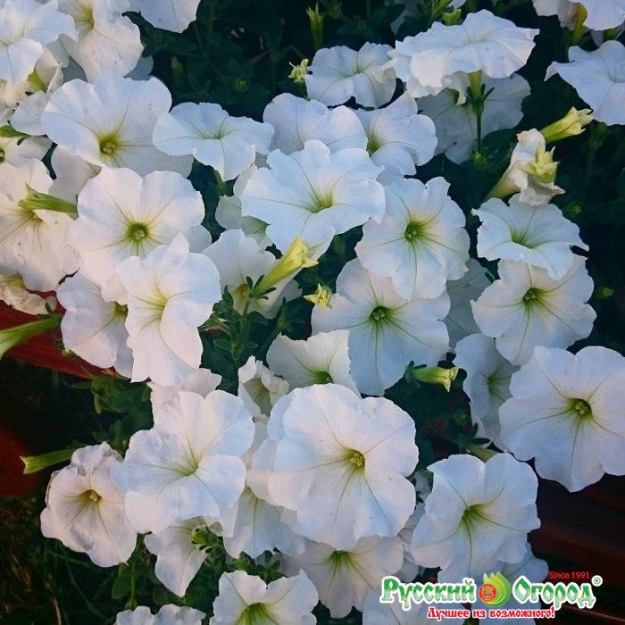 Фото цветения петуний по сортам этого