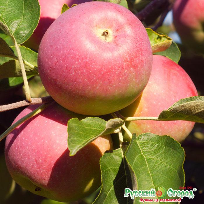 звание лучшей яблоня данила описание фото одна потрясающая