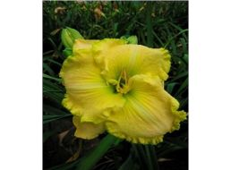 Hemerocallis Irish Veil