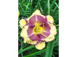 Hemerocallis Blueberry Cream
