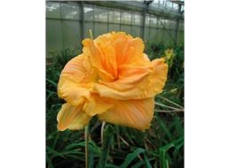 Hemerocallis Fifth Dimension