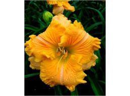 Hemerocallis Empire Returns