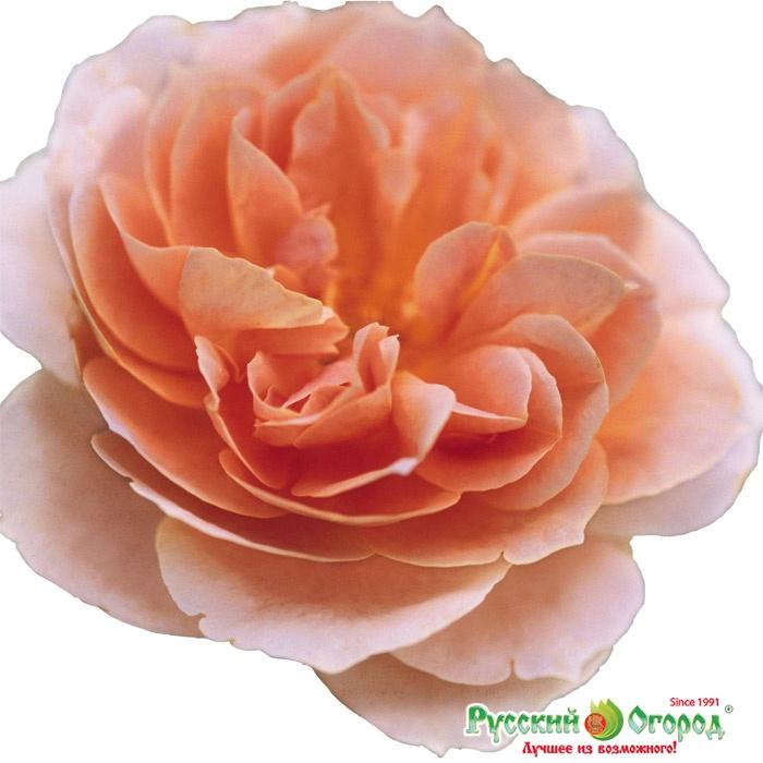 Купить роза прейри джой