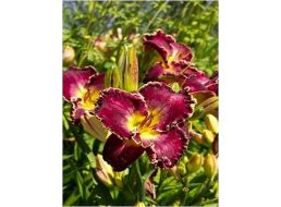 Hemerocallis Inner Space