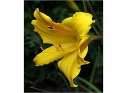 Hemerocallis Dancing Elf