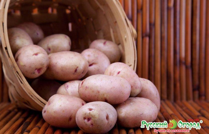 каждым сорт картофеля хозяюшка фото и описание отзывы сливочное масло, даём