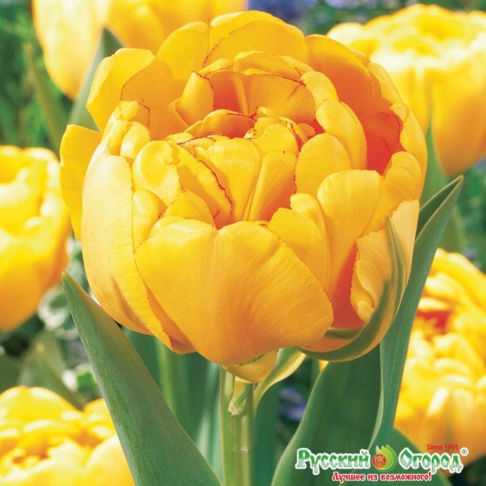 Тюльпан йеллоу помпонет