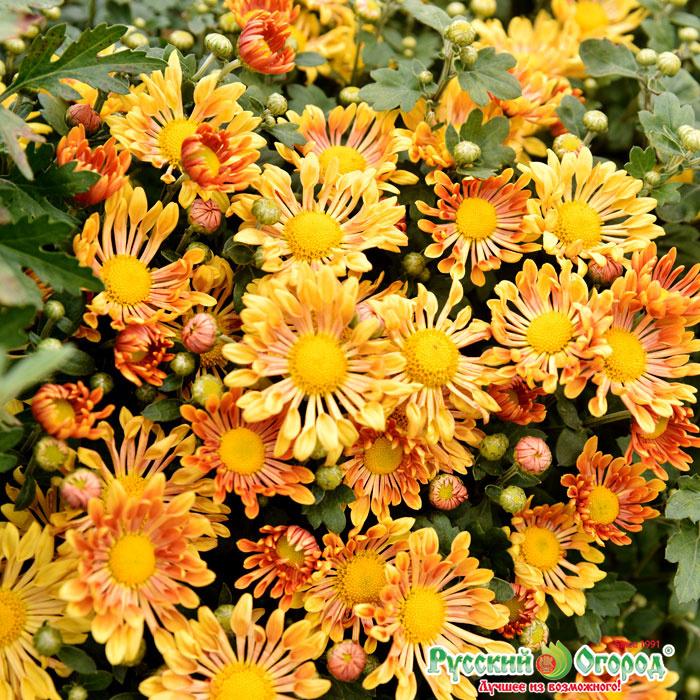статье хризантема описание фото корейская золотая осень волгограда позволяет найти