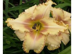 Hemerocallis Bed of Nails