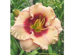 Hemerocallis For Your Eyes Only