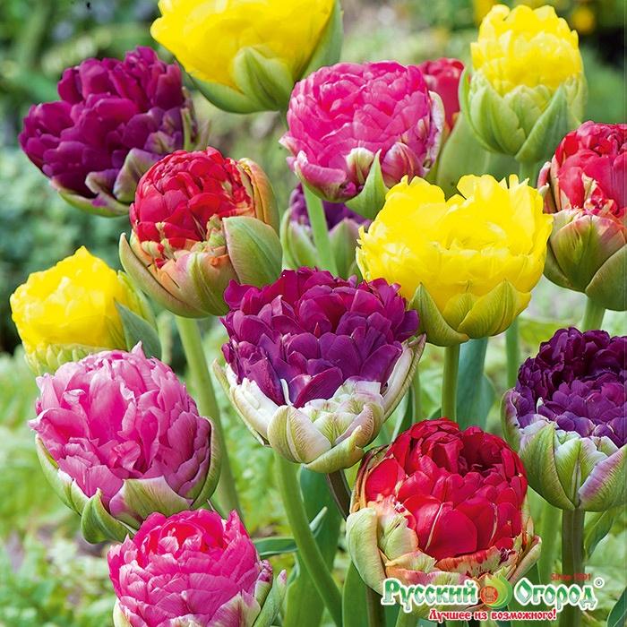 Купить тюльпаны луковицы пломбир
