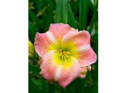 Hemerocallis Cherry Tiger