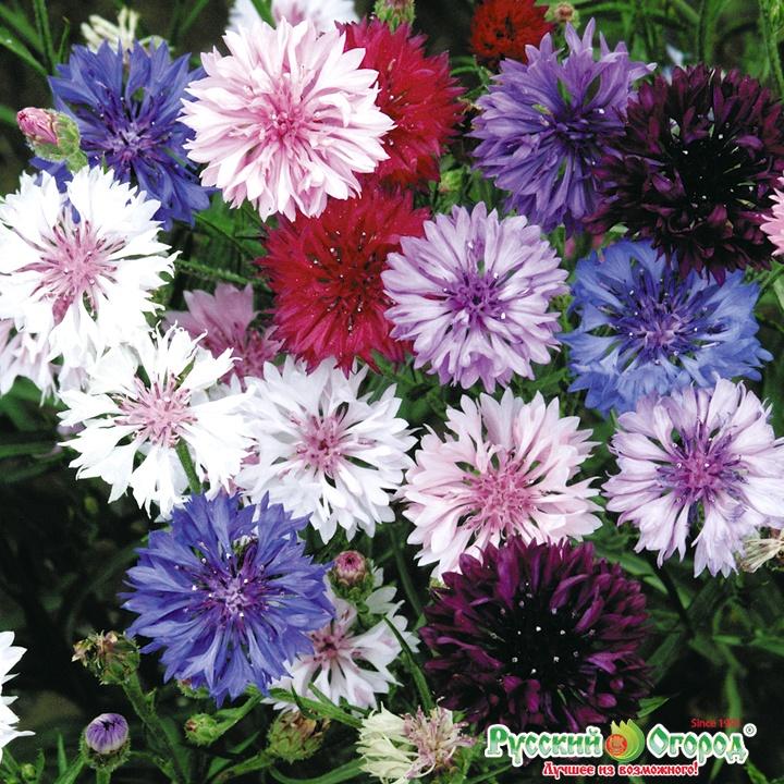 Васильки цветок садовая